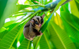 A chubby adorable sugar glider climb on the tree in the garden