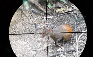 Dead rat ,on-road background