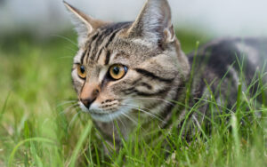 Grey domestic cat sitting on the grass